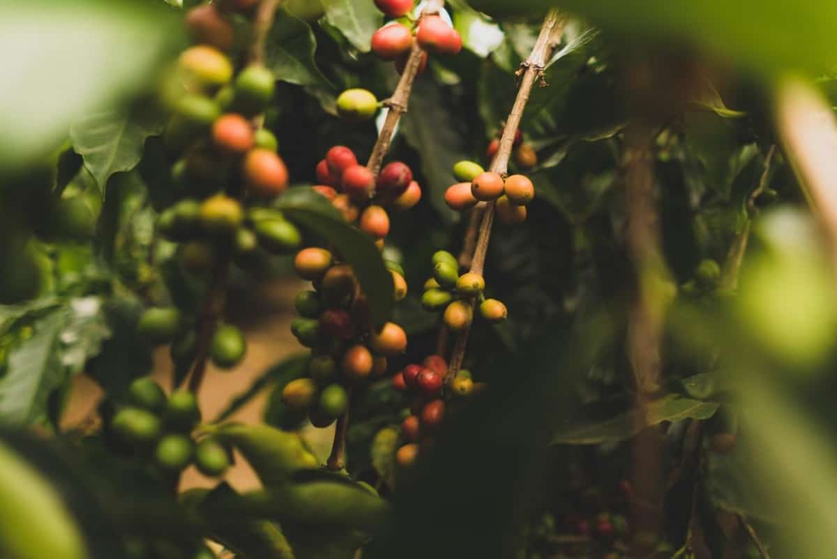 """Coffee cherries plantation which will later be picked when all are ripe and then be made into coffee """"beans"""""""
