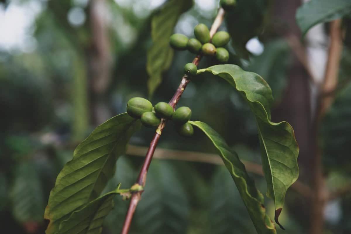 coffee leaves