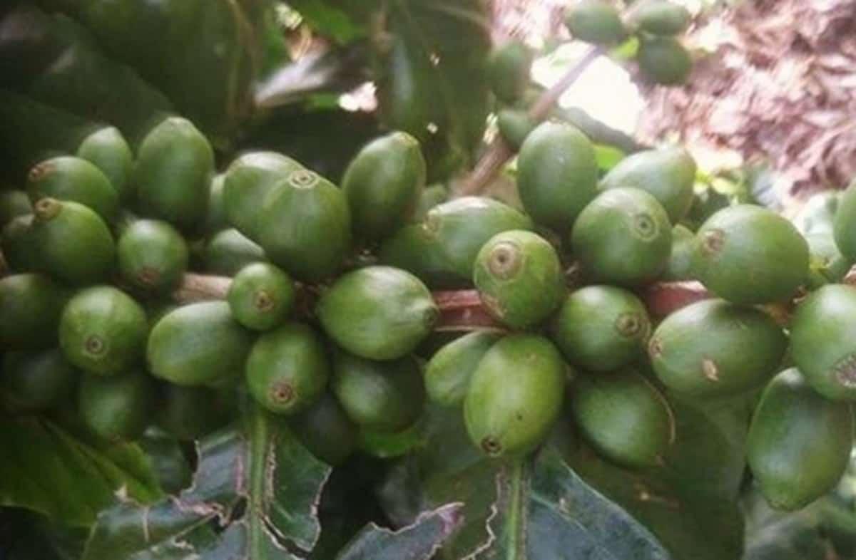 pacamara large sized beans