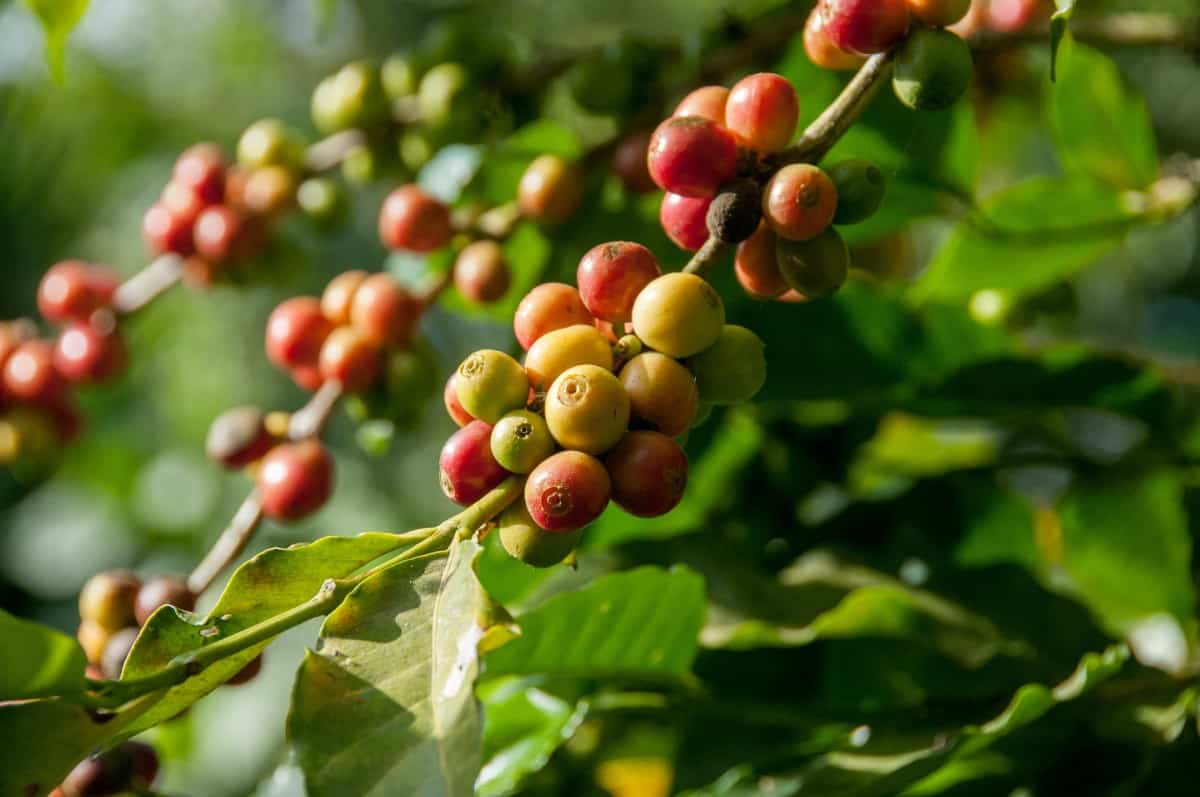 the coffee fruit from which the coffee beans are extracted.