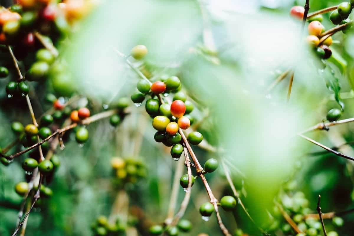 the coffee berry on the plant.