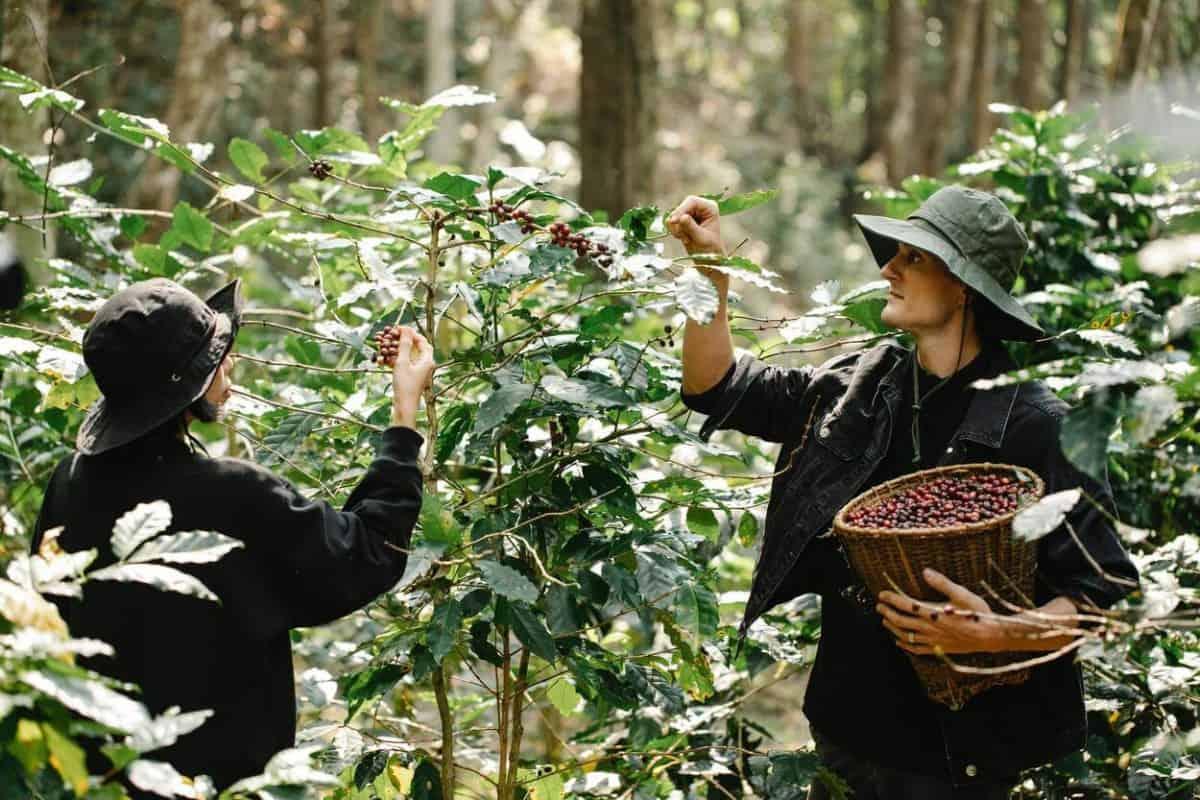 Harvesting of Coffee Cherries